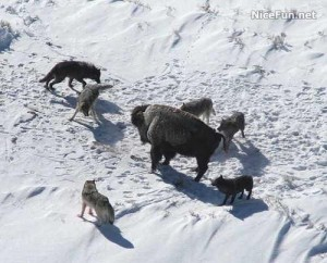 13594_Golden_Eagle_Vs_Siberian_Wolf_NiceFun_1_1